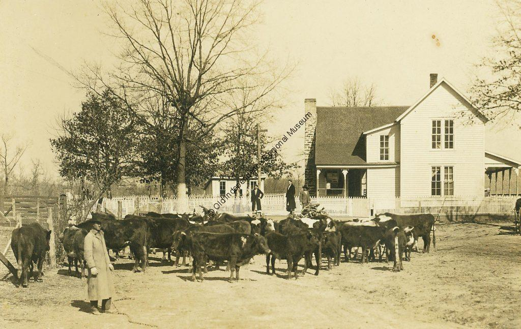 Cattle buyer inspecting a herd in Cleburne County